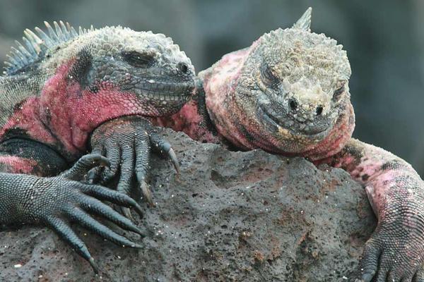 Galapagos islands iguanas