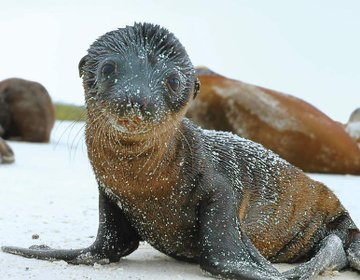 Seal pup on the Galapagos islands