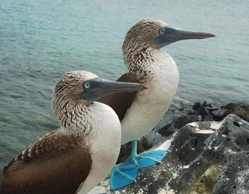 Blue footed boobies in Baltra, Galapagos