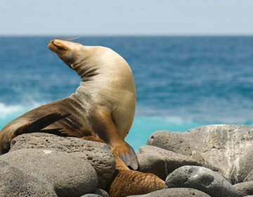 Seals on the coast of the Galapagos islands